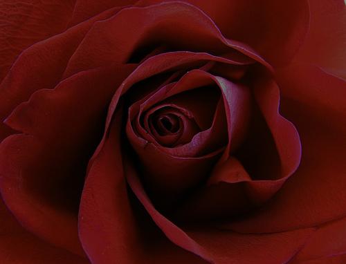 rose_8_mart